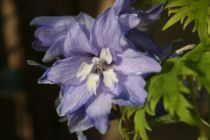 Delphinium magic fountain lavande oeil blanc