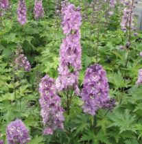Delphinium magic fountain \'Lilac rose white bee\'