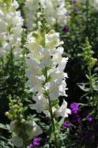 Delphinium magic fountain \'Pure White\'