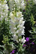 Delphinium magic fountain \'Pure White\'