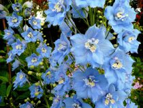 Delphinium magic fountain \'Sky Blue\'