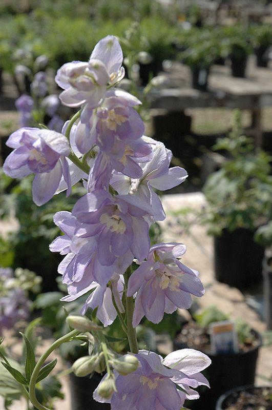Delphinium Magic Fountains \'Lavender White Bee\'