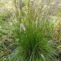 Deschampsia cespitosa \'Tardiflora\'