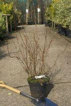 Deutzia hybrida \'Montrose\'