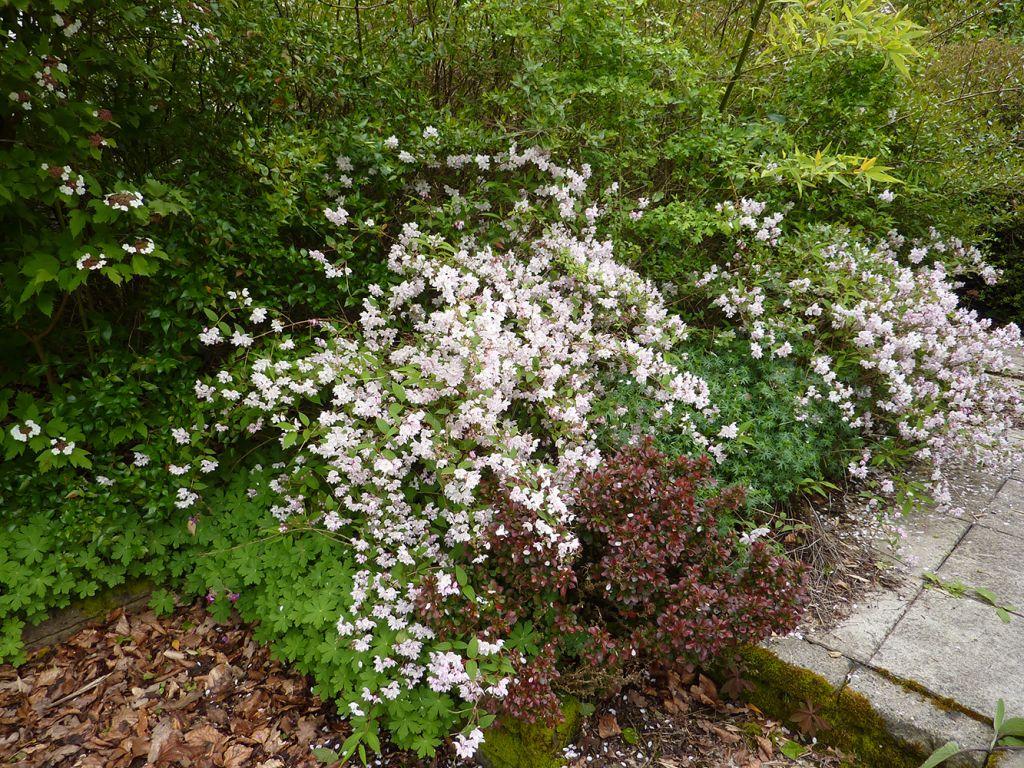 deutzia rosea carminea A