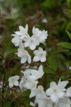 Deutzia x rosea \'Carminea\', arbuste au feuillage caduc vert devenant pourpre à l\'automne et aux fleurs en clochettes étoilées rose et carminé à l\'extérieur au printemps.
