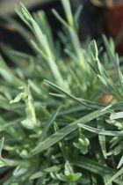 Dianthus \'Dinetta\', vivace à feuille persistante gris-vert à feuille rose vif au printemps.