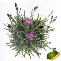Dianthus* \'Dinetta\' Purple