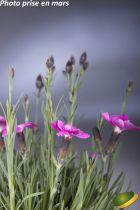 Dianthus* \'Dinetta\' rose