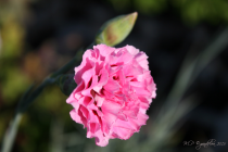 Dianthus* \'monica wyatt\'