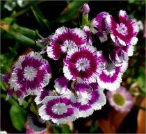 Dianthus* barbatus Nana compacta Mix - Oeillet de poète nain simple