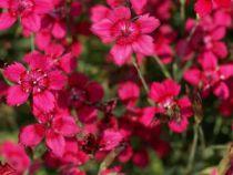 Dianthus* deltoides Confetti \'Cherry Red\'