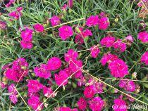 Dianthus* Devine Neon Purple