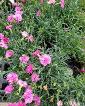 Dianthus* diantica \'Orchid\'