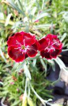 Dianthus* diantica \'Velvet\'