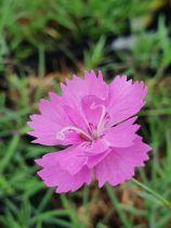 Dianthus* gratianopolitanos \'Eydangeri\'