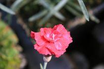 Dianthus* gratianopolitanus Bombardier