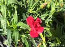 Dianthus* Oscar® Cherry