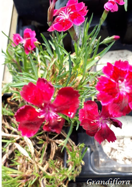Dianthus* Pillow Red