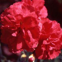 Dianthus* plumarius \'David\'