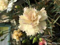 Dianthus* plumarius \'Devon Cream\'