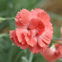 Dianthus* plumarius \'Diana\'