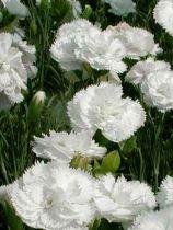 Dianthus* plumarius \'Haytor White\'