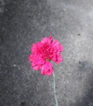 Dianthus* plumarius \'Heidi\'