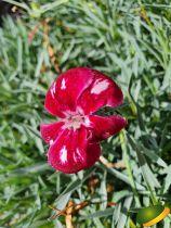 Dianthus* plumarius Angel of desire