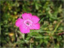 Dianthus deltoides \'Rosea\'