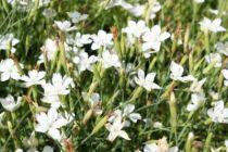 Dianthus deltoides \'White\'
