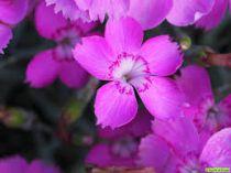 Dianthus gratianopolitanus \'Blauigel\'