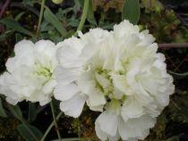 Dianthus plumarius \'  Devon Dove \'