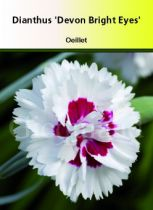 Dianthus plumarius \' Devon Bright Eyes \'