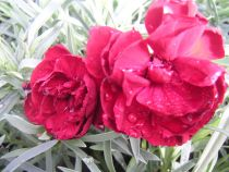 Dianthus plumarius \' Lady in Red \'