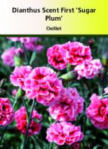 Dianthus scent first \' Sugar Plum \'