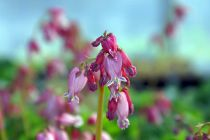 Dicentra formosa \'Luxuriant\'