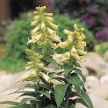 Digitalis grandiflora \'Carillon Yellow\'