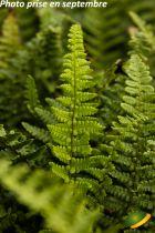 Dryopteris affinis \'Pinderi\'