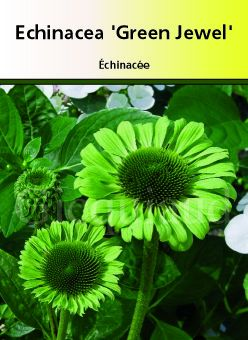 Echinacea \' Green Jewel \'