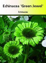 Echinacea \' Green Jewel \'