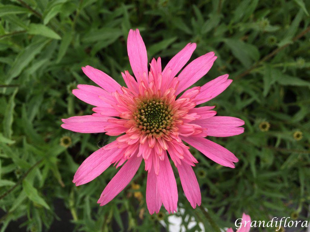 Echinacea \'Minibelle\'