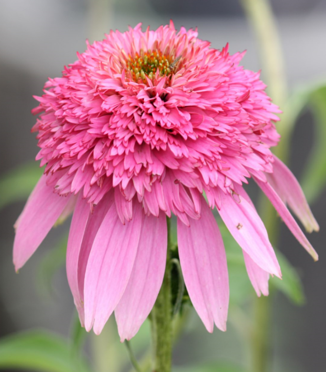 Echinacea \'Pink Double Delight\'