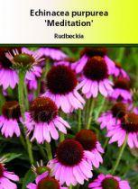 Echinacea purpurea \' Méditation\'