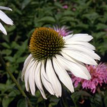 Echinacea purpurea \'Alba\'