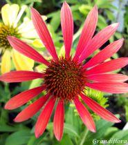 Echinacea purpurea \'Cheyenne Spirit\'