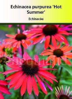 Echinacea purpurea \'Hot Summer\'