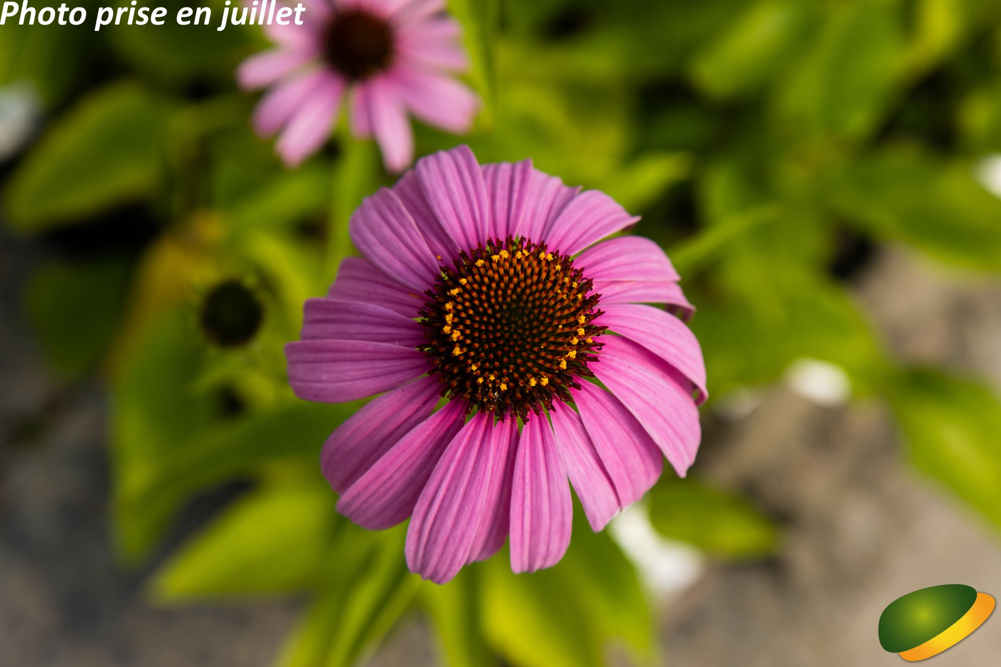Echinacea purpurea \'Magnus\'