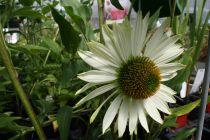 Echinacea purpurea \'Virgin\' ®