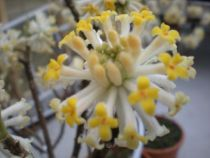 Edgeworthia chrysantha \'Grandiflora\'